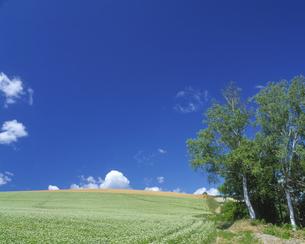 そば畑と青空の写真素材 [FYI01472205]