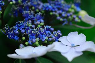 紫陽花の写真素材 [FYI01472219]
