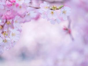 桜アップの写真素材 [FYI01472235]
