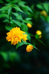 八重山吹の花の写真素材 [FYI01472360]