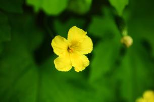 野菜 ゴーヤーの花の写真素材 [FYI01472365]