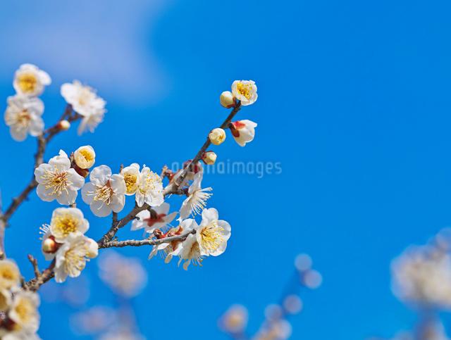 白梅と青空の写真素材 [FYI01472382]