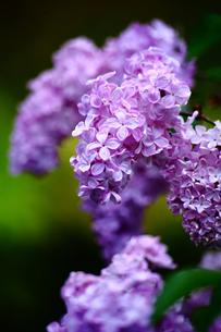 ライラックの花の写真素材 [FYI01472410]