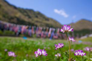 レンゲ草とコイノボリの写真素材 [FYI01472411]