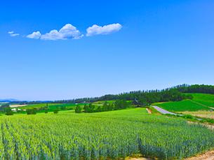 新緑の麦畑と青空に夏雲の写真素材 [FYI01472415]