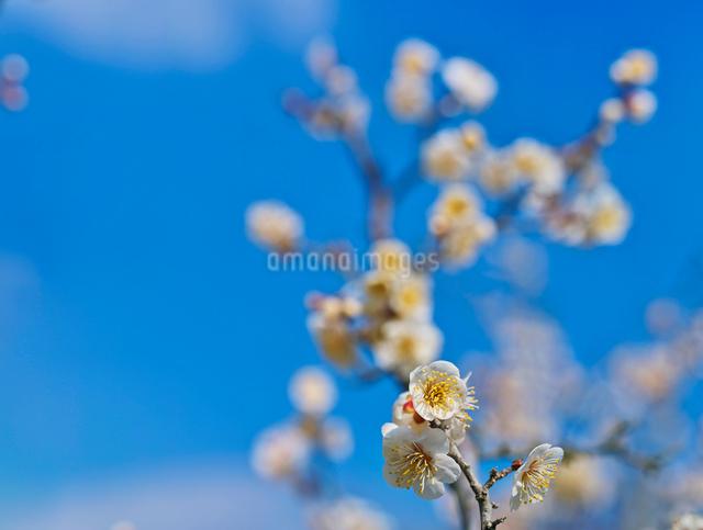 白梅と青空の写真素材 [FYI01472417]