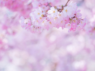 桜アップの写真素材 [FYI01472469]