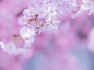 桜アップの写真素材 [FYI01472527]