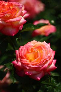 黄色紅色のバラの写真素材 [FYI01472543]