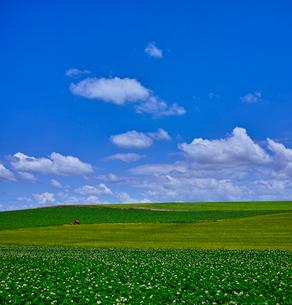 じゃがいもの花咲く田園風景と青空の写真素材 [FYI01472548]