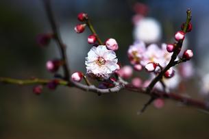 梅,早春に咲く見驚の写真素材 [FYI01472551]
