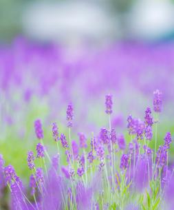 富良野点景  ラベンダー畑の写真素材 [FYI01472553]