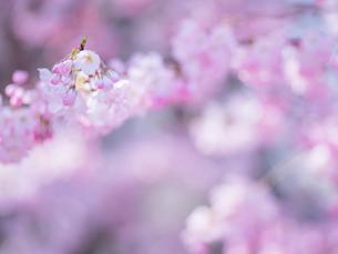 桜アップの写真素材 [FYI01472640]