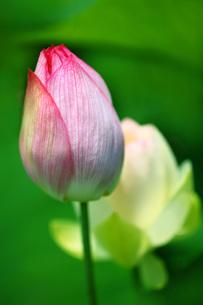 紅白のハスの蕾の写真素材 [FYI01472667]