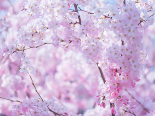 桜アップの写真素材 [FYI01472689]