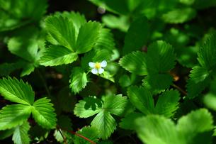 ハーブ ワイルドストロベリーの花の写真素材 [FYI01472691]