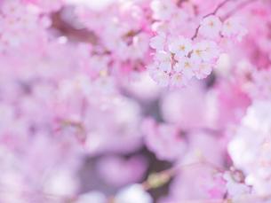 桜アップの写真素材 [FYI01472715]