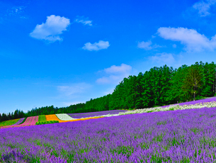 ラベンダー畑と青空に夏雲の写真素材 [FYI01472820]