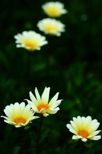 ガザニアの白い花の写真素材 [FYI01472862]