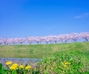 青空と満開の桜並木とタンポポの写真素材 [FYI01472874]