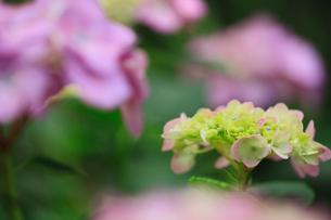 紫陽花の写真素材 [FYI01472923]