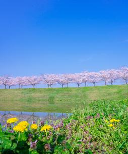青空と満開の桜並木とタンポポの写真素材 [FYI01472924]