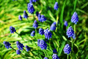 ムスカリの花の写真素材 [FYI01472970]