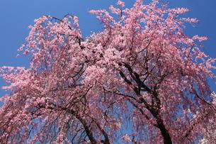 青空に咲く八重紅しだれの花の写真素材 [FYI01473012]