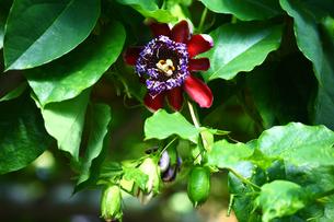 温室に咲くオオミノトケイソウの写真素材 [FYI01473067]