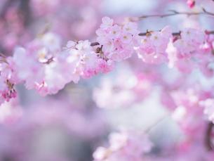 桜アップの写真素材 [FYI01473080]