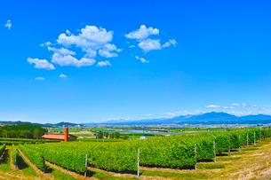 新緑のぶどう畑と青空に浮かぶ夏雲の写真素材 [FYI01473083]