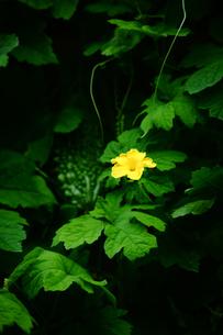 ゴーヤの花と実の写真素材 [FYI01473086]