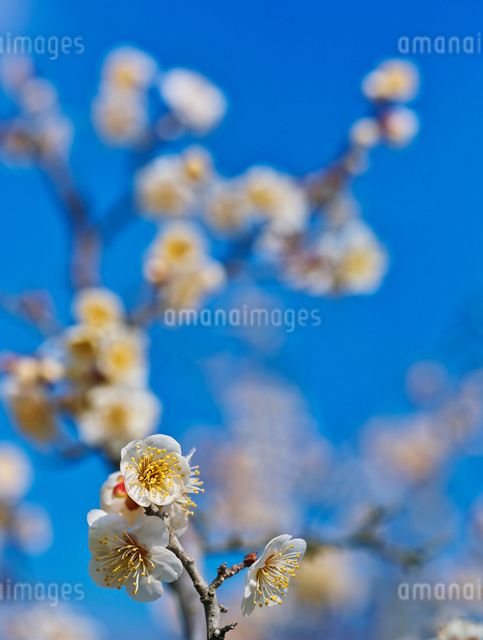 白梅と青空の写真素材 [FYI01473124]