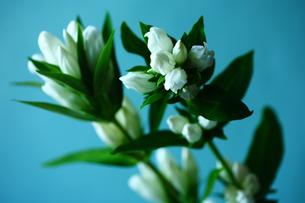 リンドウの白い花の写真素材 [FYI01473136]