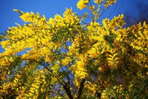 ミモザアカシアの花の写真素材 [FYI01473208]