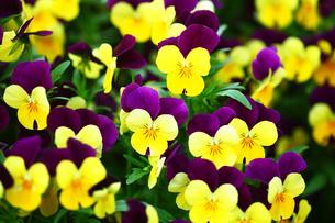 黄色と紫色のビオラの写真素材 [FYI01473248]