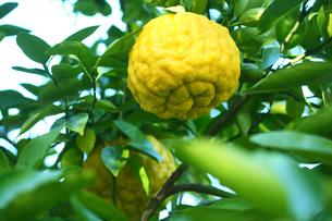 果物 巨大なシシユズの写真素材 [FYI01473272]