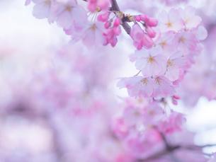 桜アップの写真素材 [FYI01473282]