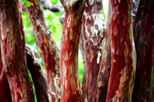 シマサルスベリの赤い幹の写真素材 [FYI01473289]
