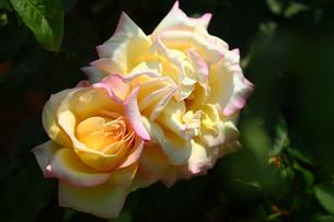 黄色とピンク色のバラの写真素材 [FYI01473291]