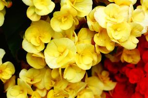 黄色いリーガースベゴニアの花の写真素材 [FYI01473310]