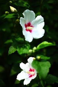 ムクゲの花の写真素材 [FYI01473329]