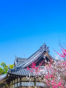 梅花と青空の写真素材 [FYI01473345]
