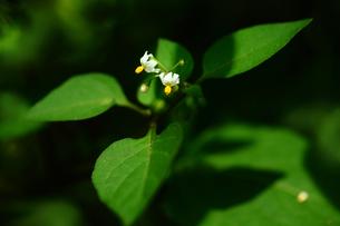 小さなヤマホロシの花の写真素材 [FYI01473361]