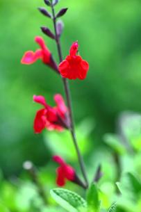 ハーブ チェリーセージの花の写真素材 [FYI01473365]