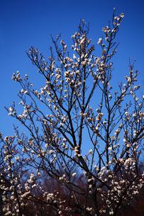 梅,八重冬至の写真素材 [FYI01473366]