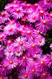 マツバギクの花の写真素材 [FYI01473382]
