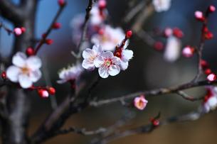 梅・紅冬至の開花の写真素材 [FYI01473387]