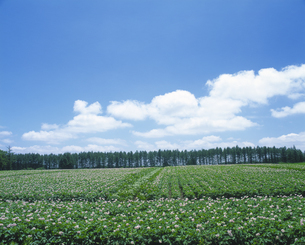 ジャガイモ畑と青空の写真素材 [FYI01473401]