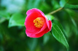 赤い藪椿の花の写真素材 [FYI01473458]